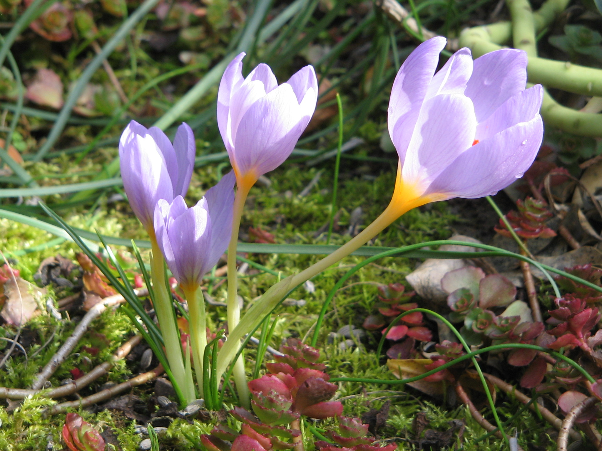 photo of a crocus from wikipedia