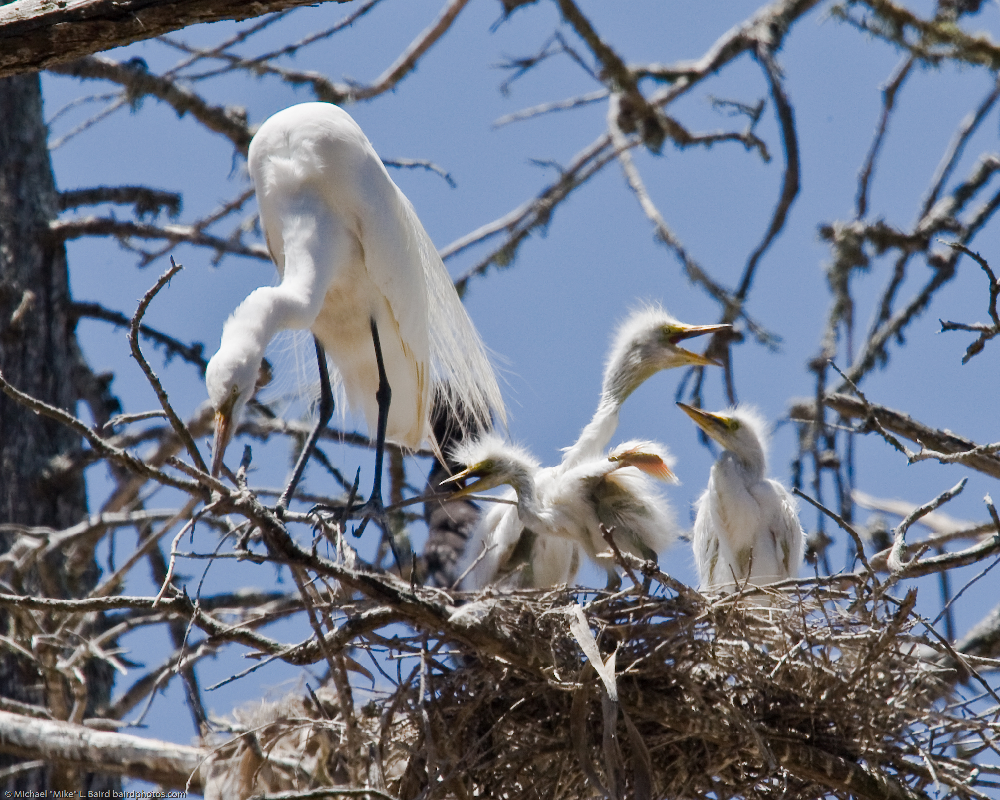https://i1.wp.com/upload.wikimedia.org/wikipedia/commons/6/64/Great_Egret_%28Ardea_alba%29_chicks_with_parent_in_nest%2C_Morro_Bay_H_%282594536724%29.jpg