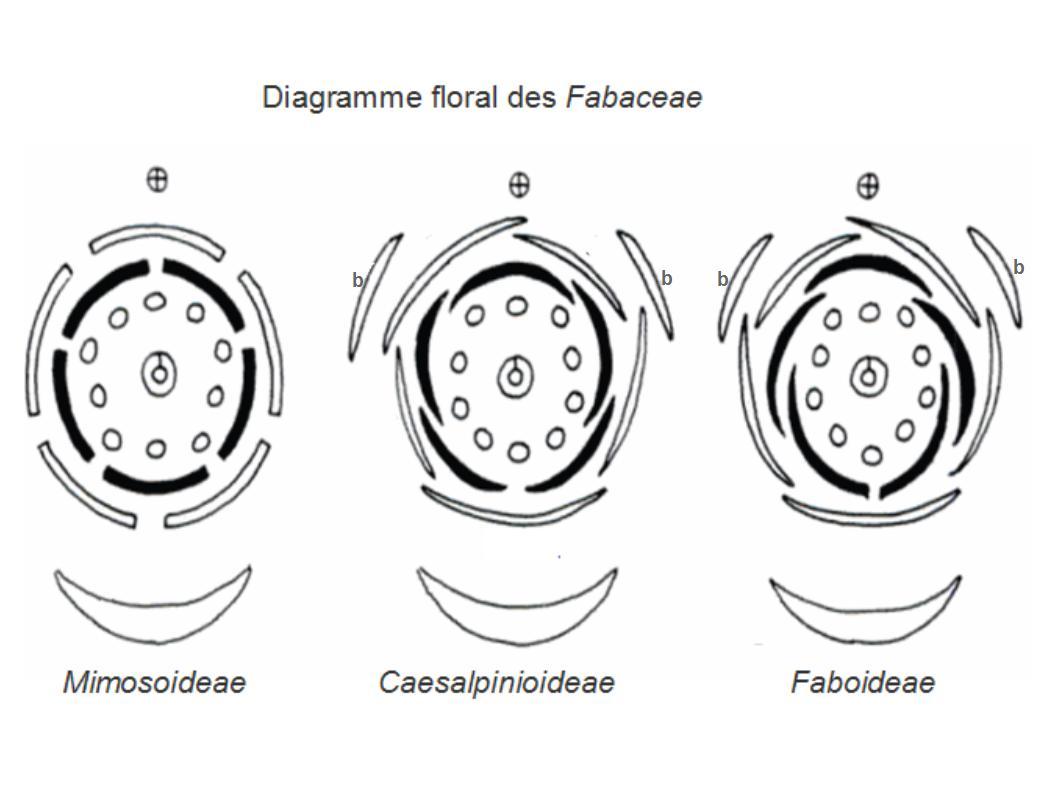 File Fabaceae Floral Diagrams