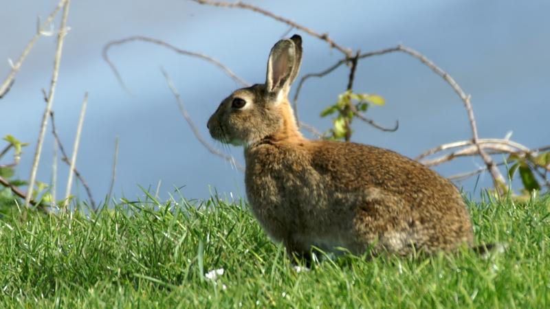 https://i1.wp.com/upload.wikimedia.org/wikipedia/commons/6/65/Rabbit_%28Oryctolagus_cuniculus%29_%281%29.jpg