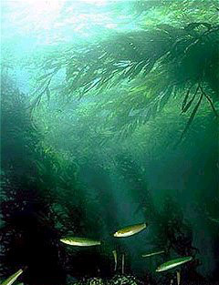 File:Kelp forest.jpg