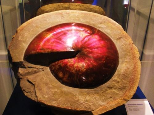 https://i1.wp.com/upload.wikimedia.org/wikipedia/commons/6/67/Sphenodiscus_-_opalized.jpg?resize=500%2C375&ssl=1