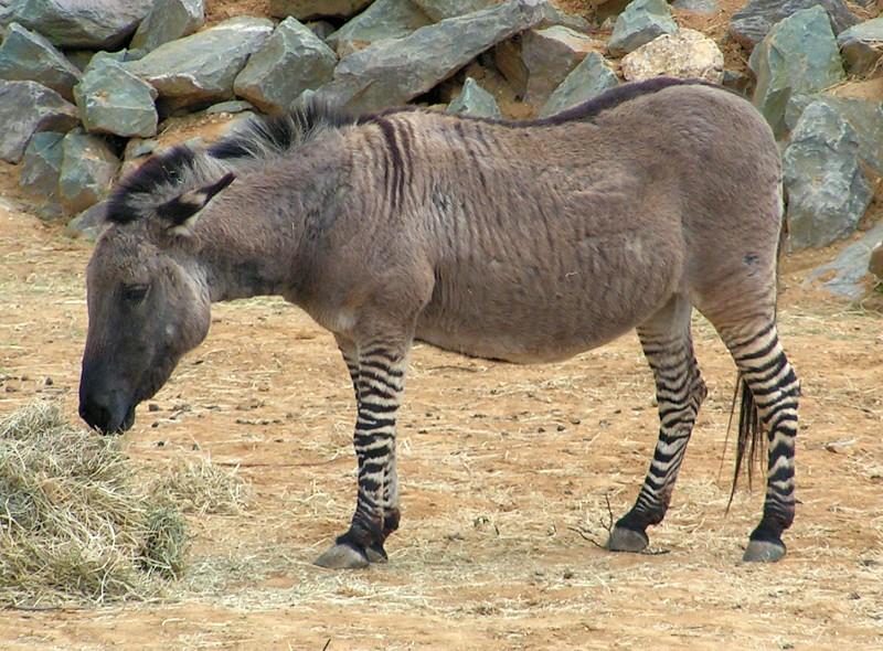 A Zebra-Donkey Hybrid (Zonkey) eating hay.