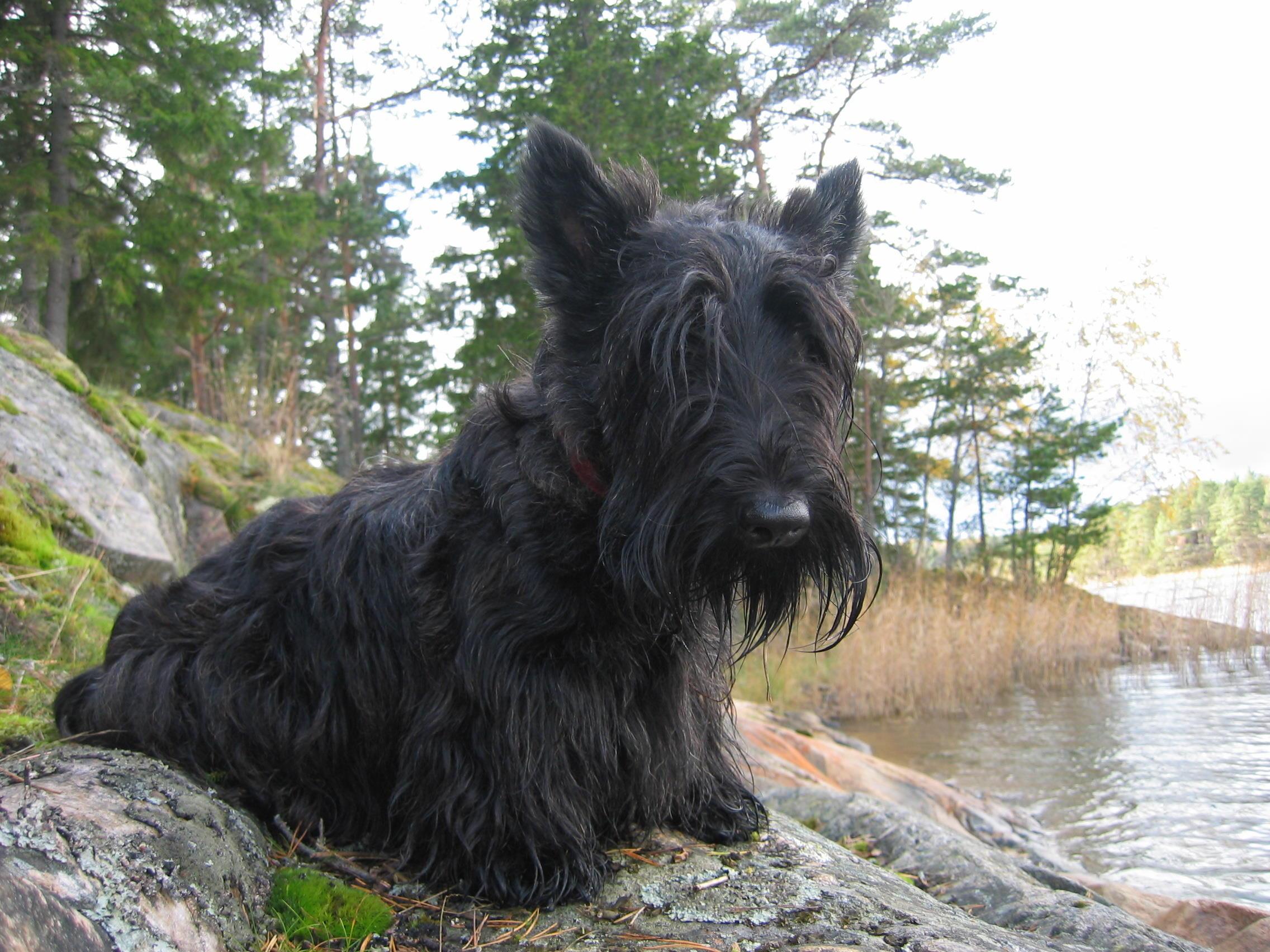 Otto the dog 2,5years Scottish Terrier