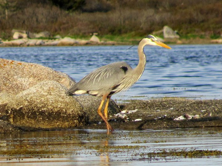 File:Great Blue Heron - Nova Scotia.jpg