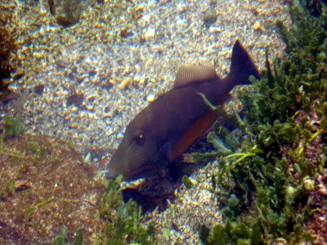 File:Orangeside Triggerfish Diego.JPG
