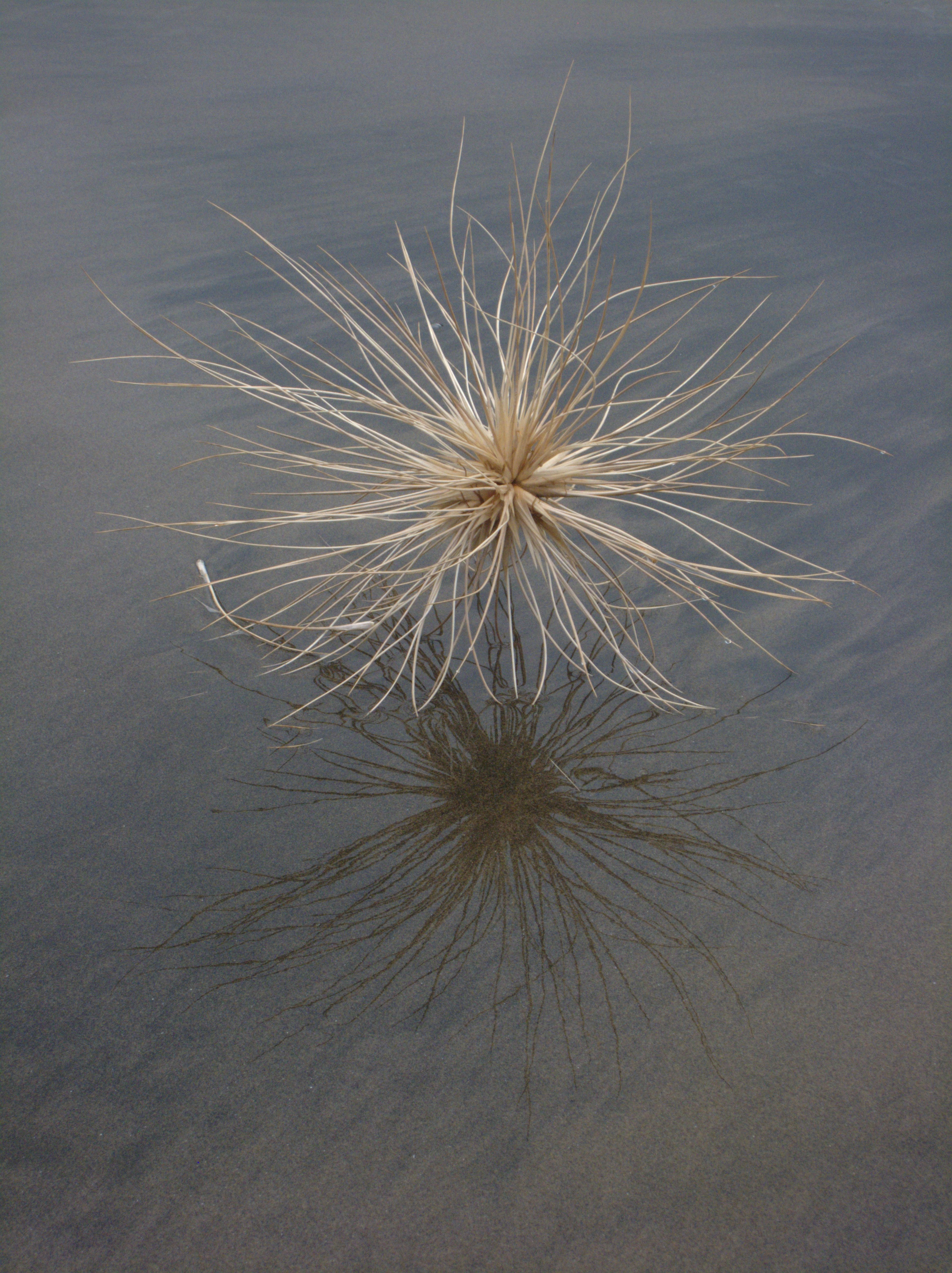 https://i1.wp.com/upload.wikimedia.org/wikipedia/commons/6/6a/Spinifex_sericeus_seed_head.jpg