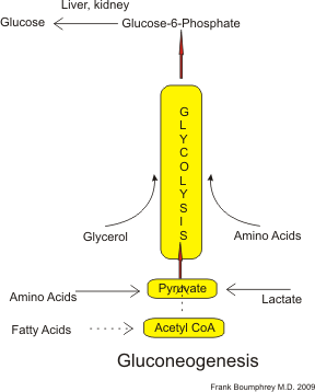 Principles of BiochemistryGluconeogenesis and Glycogenesis  Wikibooks, open books for an open