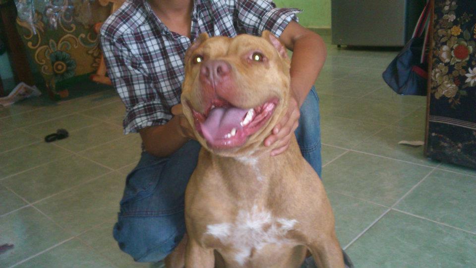 American pitbull nariz roja Red Nose Pitbull Dogs