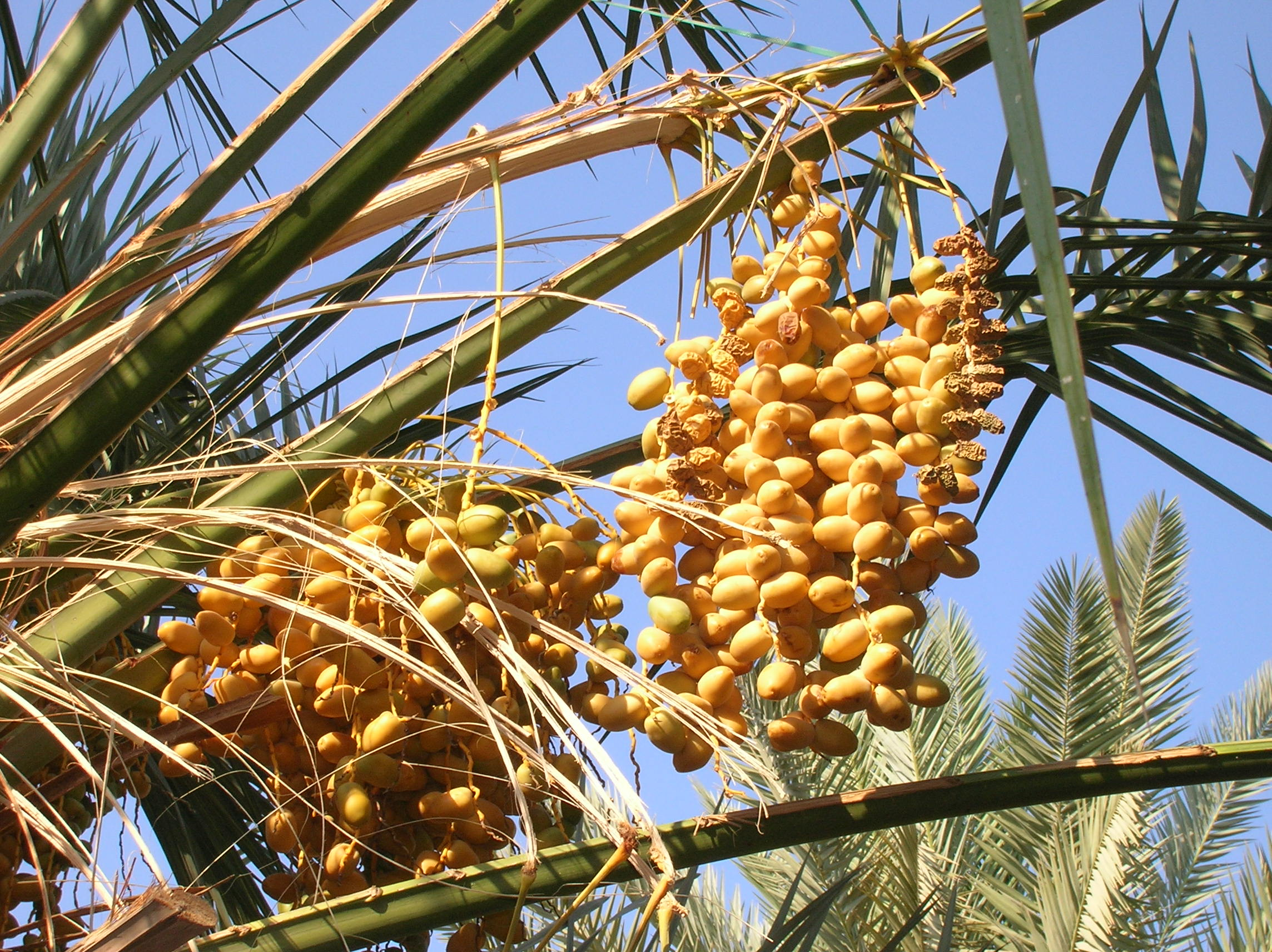 Ripe and dry dates fruit bunches at the Abdul ...