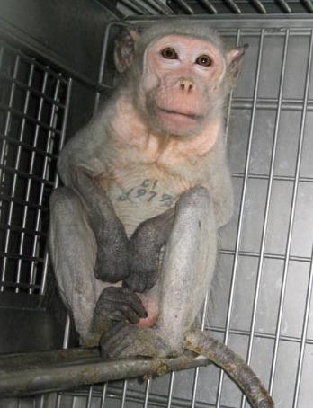 File:AnimaltestingMonkeyCovance2.jpg