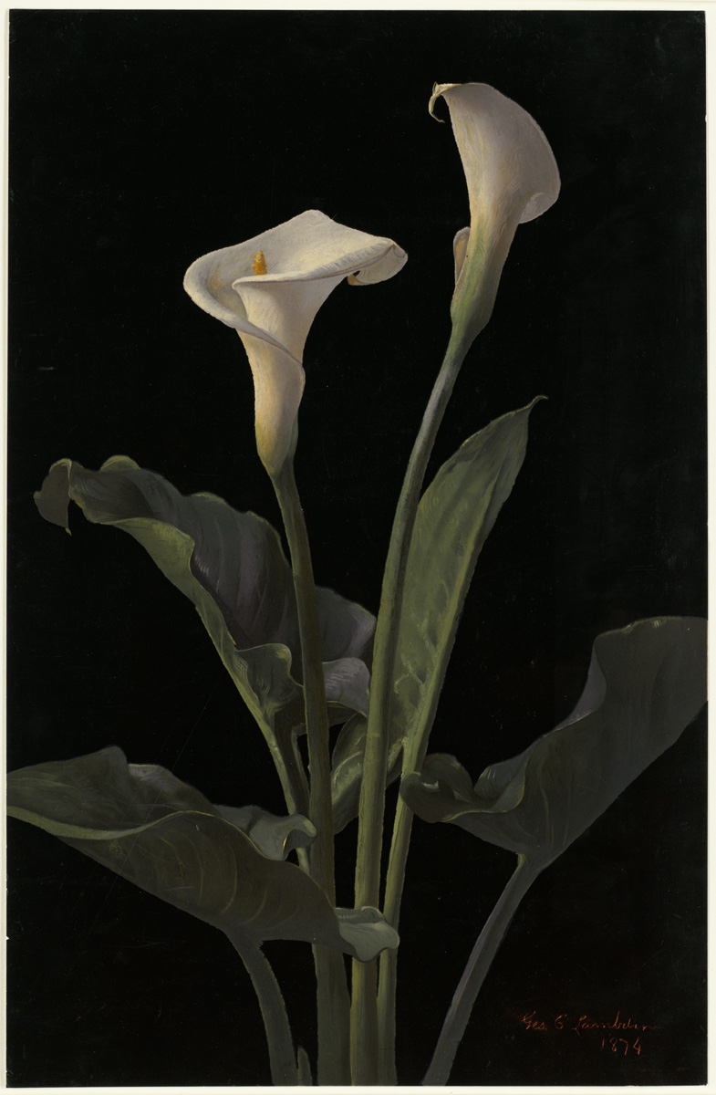https://i1.wp.com/upload.wikimedia.org/wikipedia/commons/6/6d/Calla_Lilies_by_Boston_Public_Library.jpg