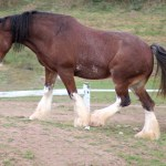 Clydesdale Horse Wikipedia