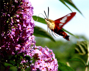 I call this a Hummingbird Moth but I don't kno...