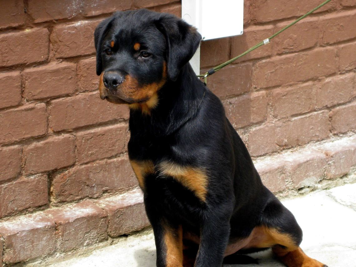 Rottweiler dog (1) Dog Pitbull Video