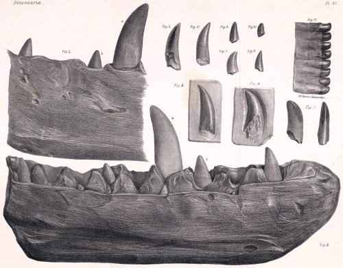 https://i1.wp.com/upload.wikimedia.org/wikipedia/commons/6/6f/Megalosaurus_dentary.jpg?resize=500%2C391&ssl=1