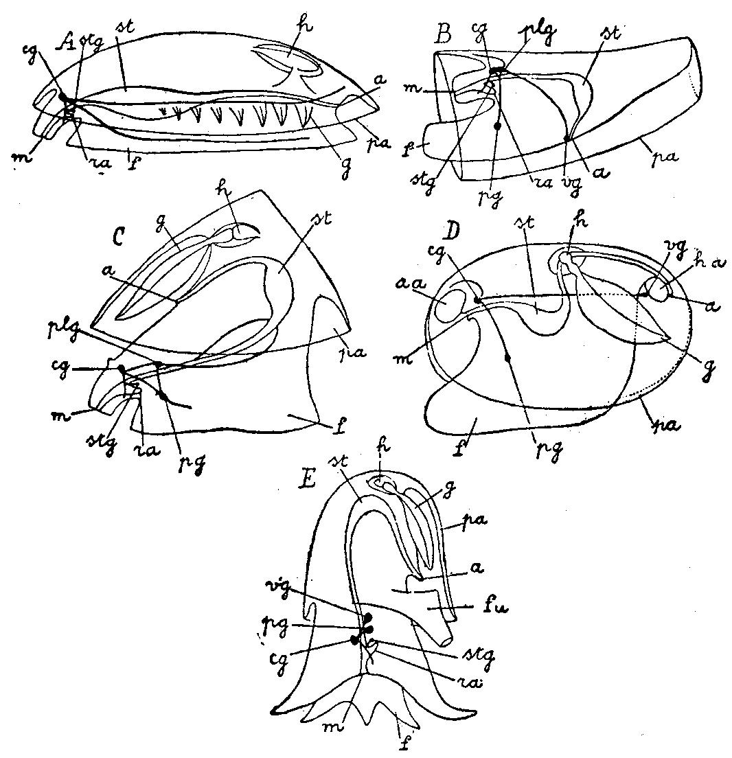 File Mollusca Diagram 5 Classes