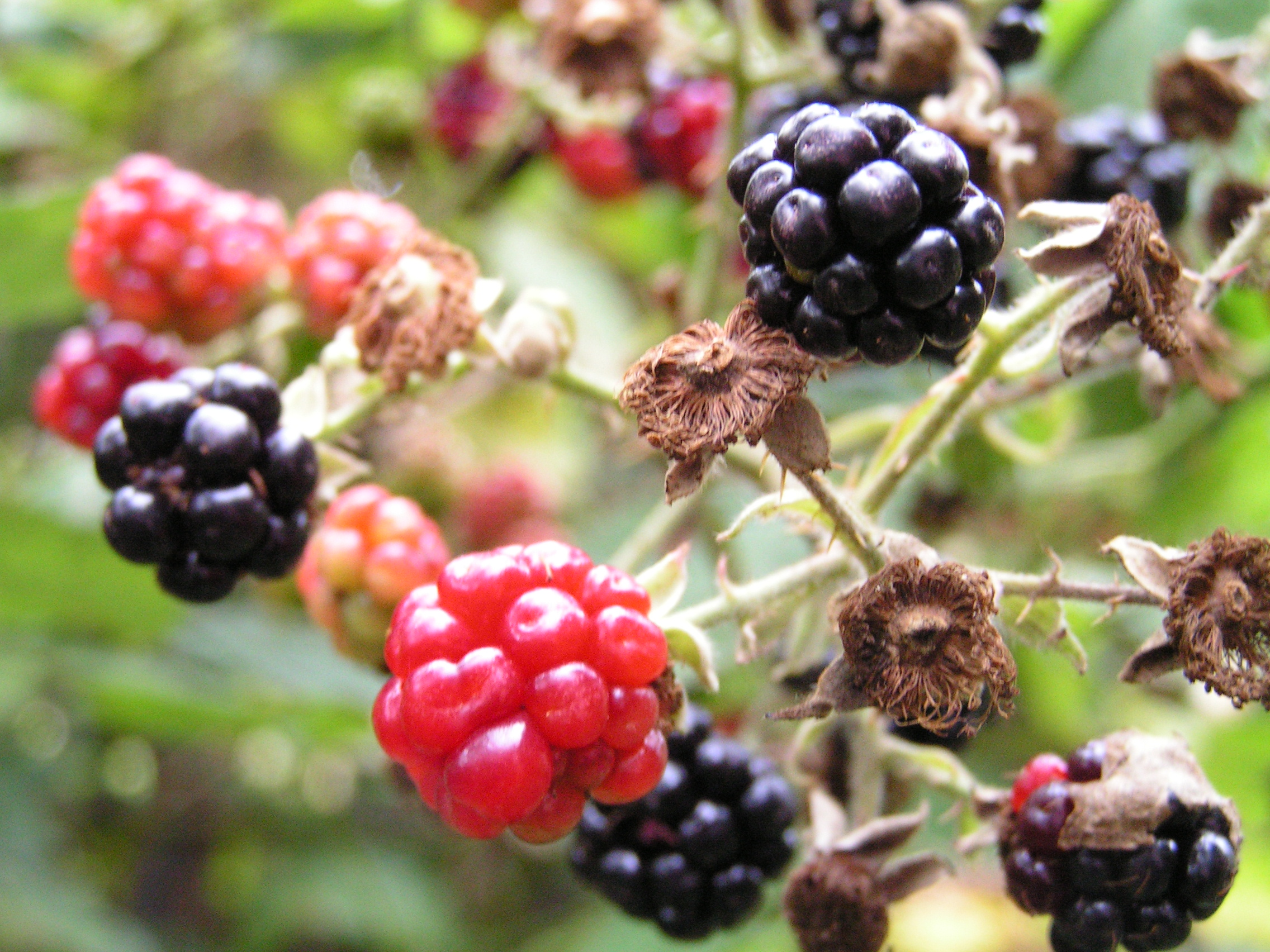 Blackberries.