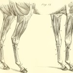 File The Anatomy And Physiology Of The Horse With Anatomical And Questional Illustrations Containing Also A Series Of Examinations On Equine Anatomy And Physiology With Instructions In Reference To 18007009720 Jpg Wikimedia Commons