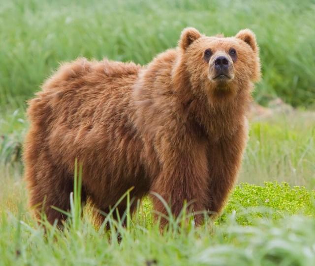 File2010 Kodiak Bear 1 Jpg