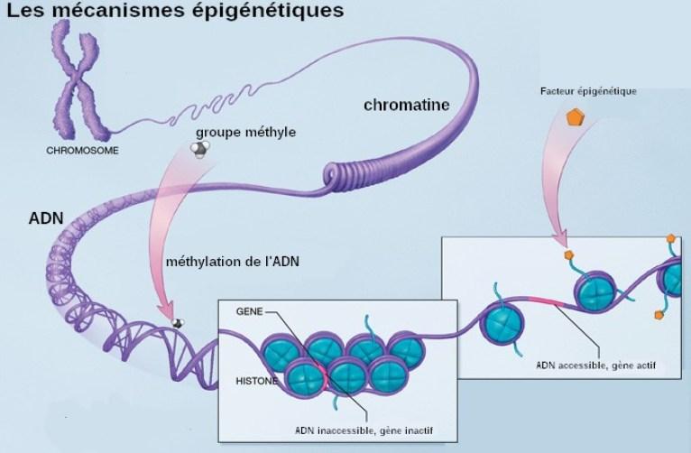Mécanisme épigénétique