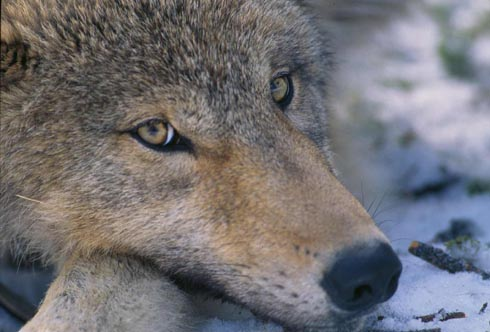 File:Canis lupus pup closeup.jpg