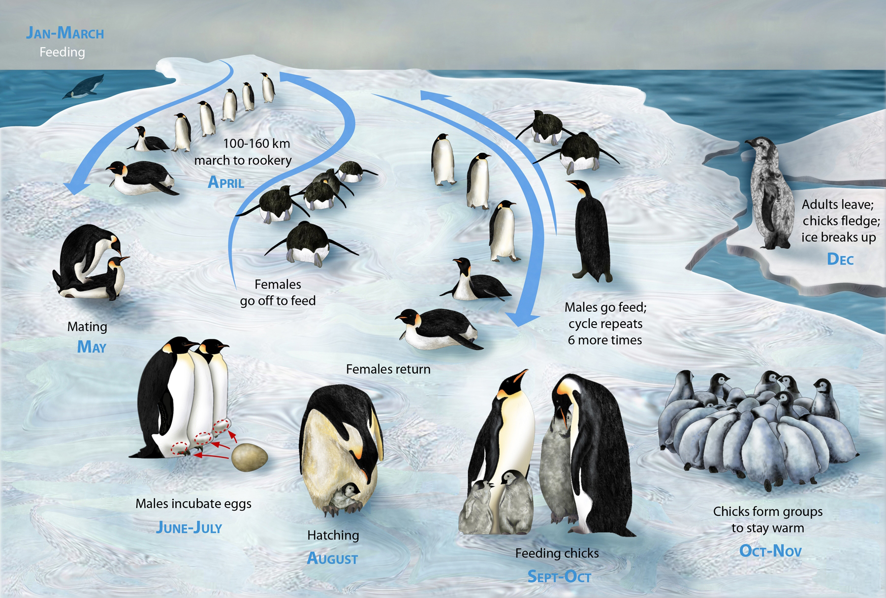 File Penguin Lifecycle H