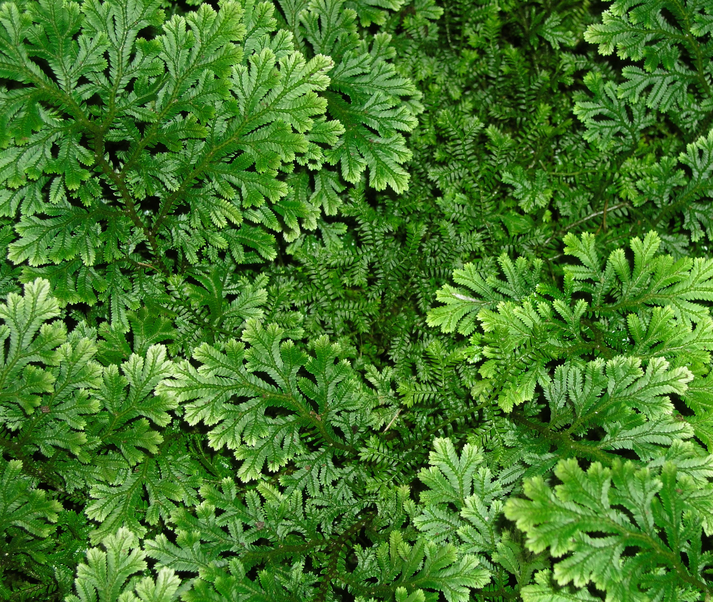10 especies de helechos que quiz no conoc as plantas for Planta ornamental helecho nombre cientifico