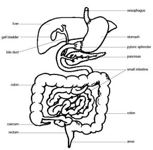 Anatomy and Physiology of AnimalsThe Gut and Digestion