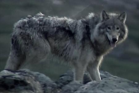 File:Labrador Wolf.jpg