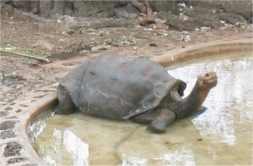 Lonesome George. Bild von James Roberts via Wiki