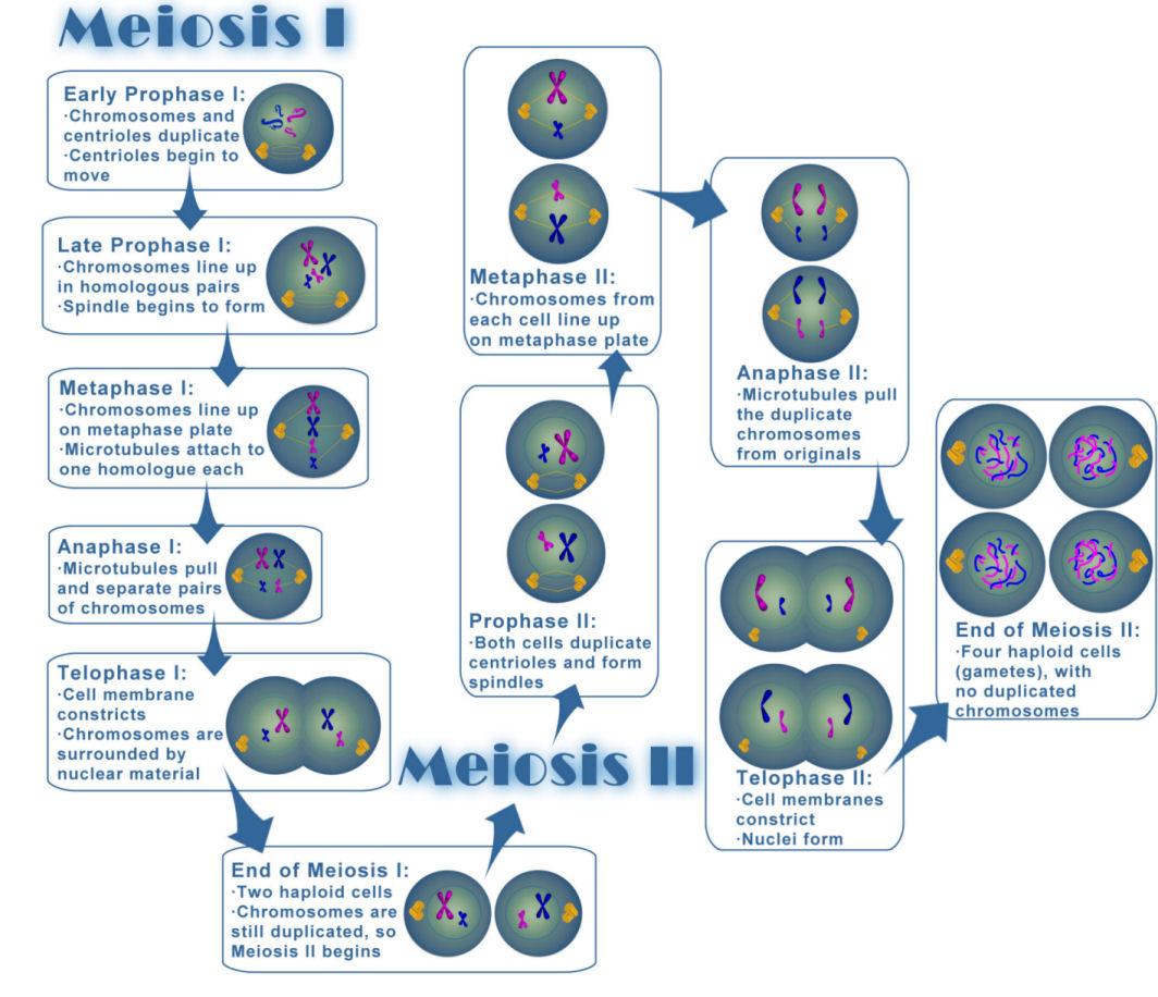 File Meiosis