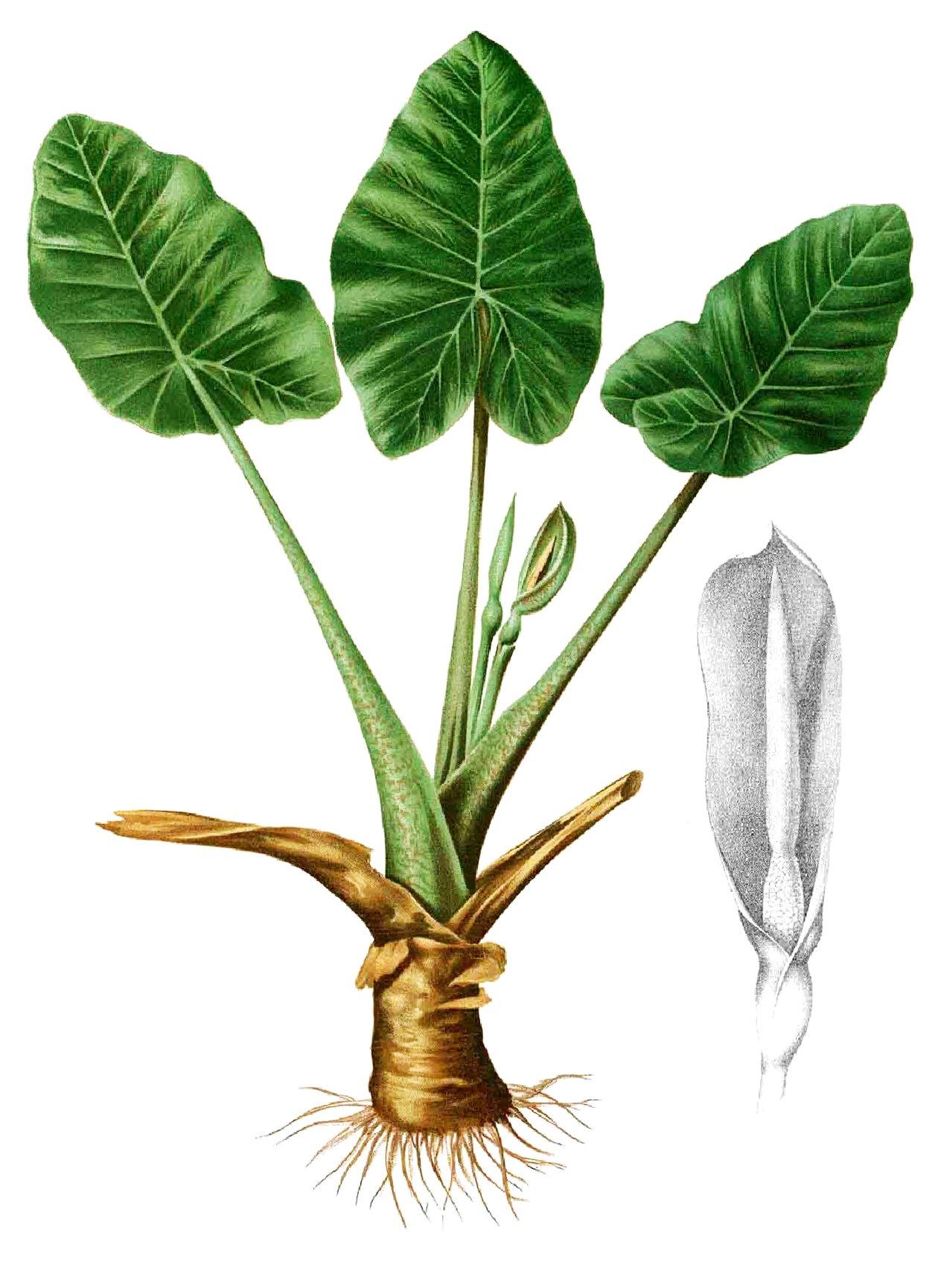 Alocasia oreja de elefante acuaestanques for Planta ornamental oreja de elefante