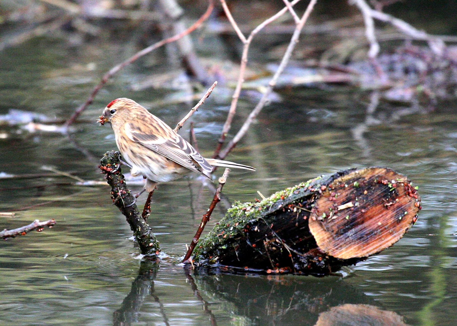 Passerell golanegre petit (Carduelis Cabaret)