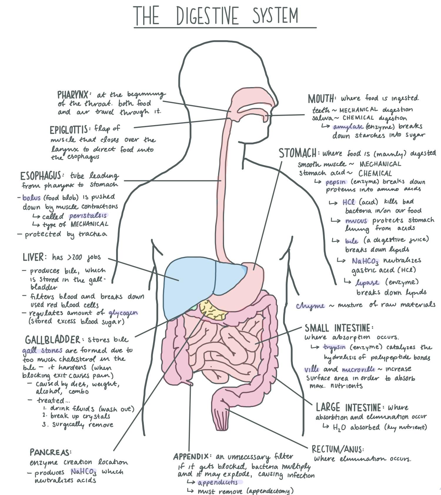 File Digestive System Diagram