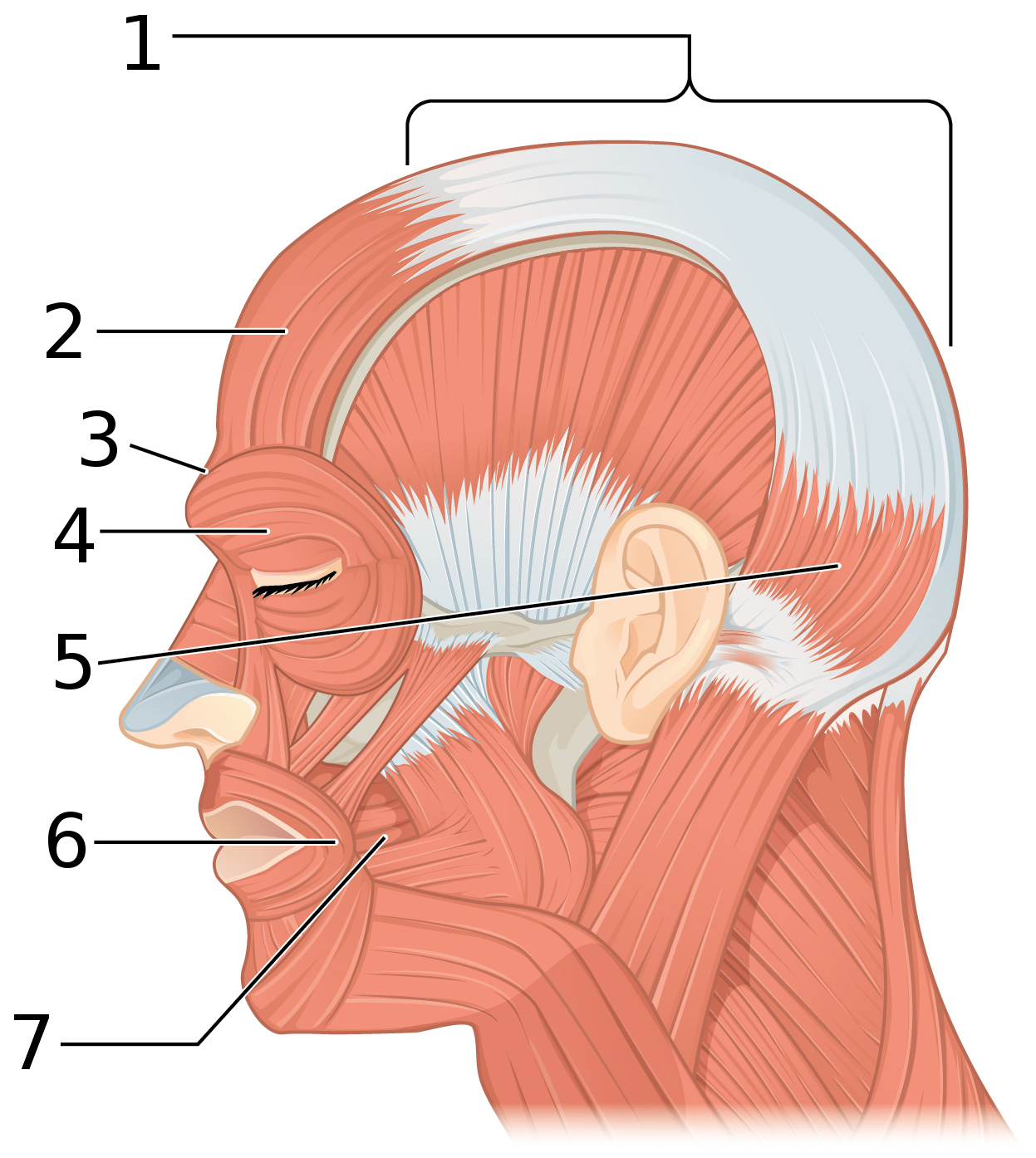 File Side Views Of The Muscles Of Facial Expressions