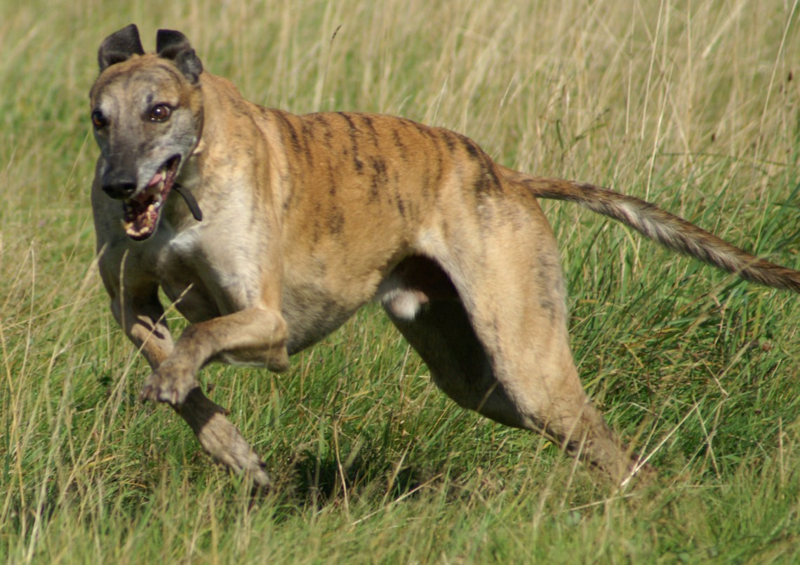 Greyhound running brindle Tiger Pitbull Dog