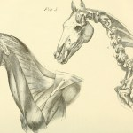 File The Anatomy And Physiology Of The Horse With Anatomical And Questional Illustrations Containing Also A Series Of Examinations On Equine Anatomy And Physiology With Instructions In Reference To 18006979210 Jpg Wikimedia Commons