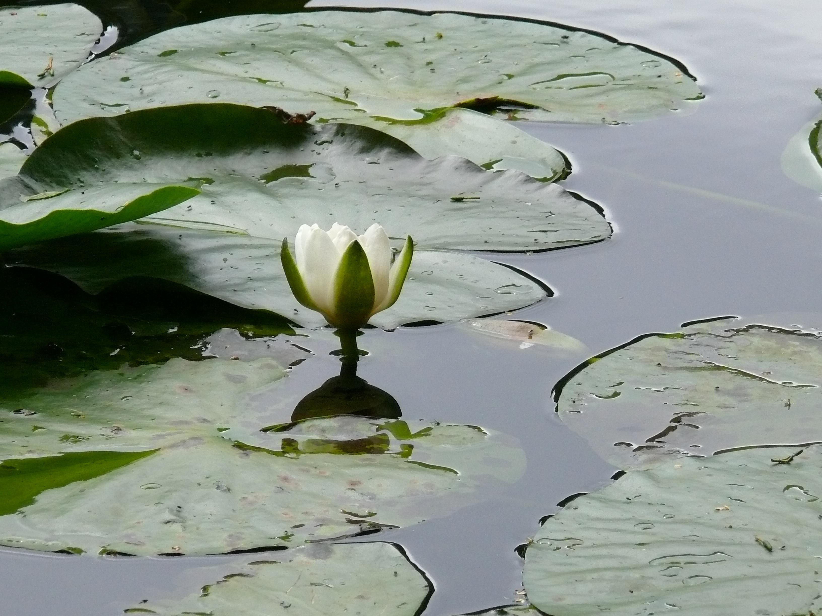 English: Stillness at the lake, Canonteign Fal...