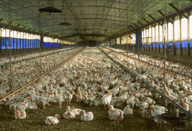 A commercial meat chicken production house in ...