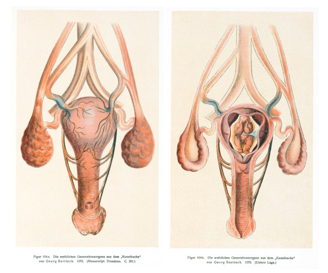 Fileimage Of The Vagina Uterus And Womb Wellcome L0043367 Jpg