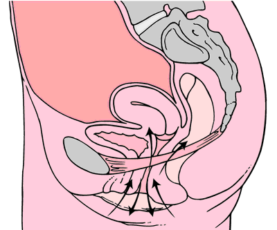 kegel muscle diagram