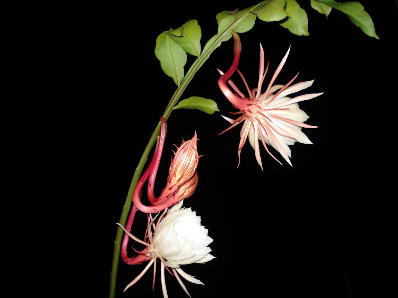 https://i1.wp.com/upload.wikimedia.org/wikipedia/commons/7/7a/Epiphyllum_oxypetalum200669888.jpg