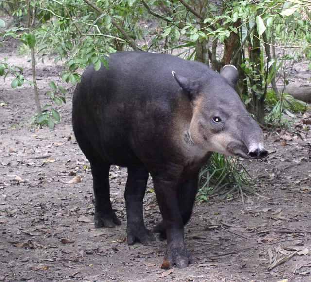 File:Central American Tapir-Belize20.jpg