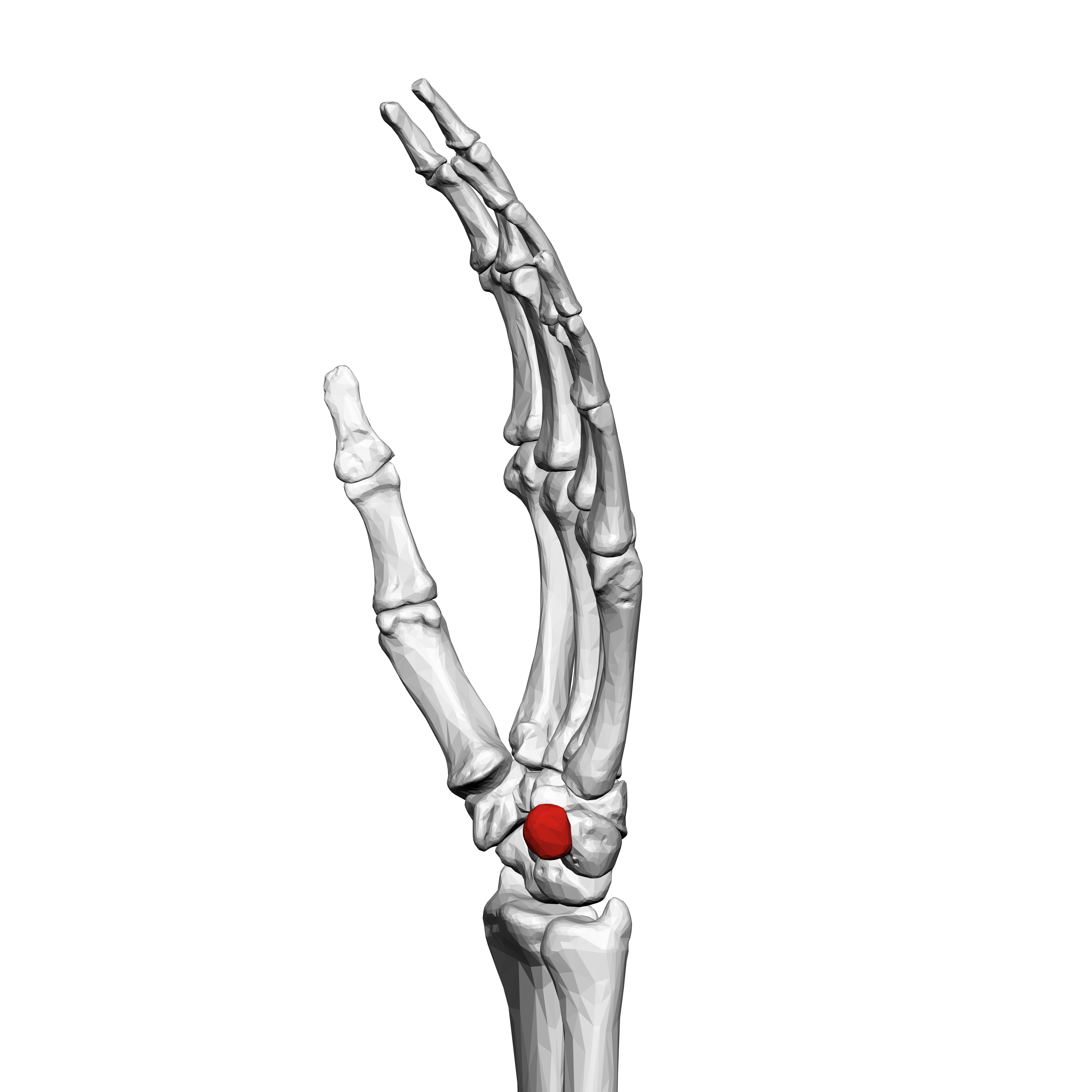 File Pisiform Bone Left Hand 03 Ulnar View