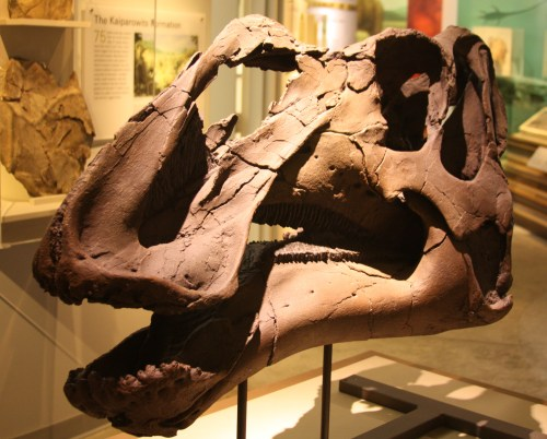 https://i1.wp.com/upload.wikimedia.org/wikipedia/commons/7/7d/Gryposaurus_Monumentsis_Skull%2C_Alf_Museum.JPG?resize=500%2C402&ssl=1