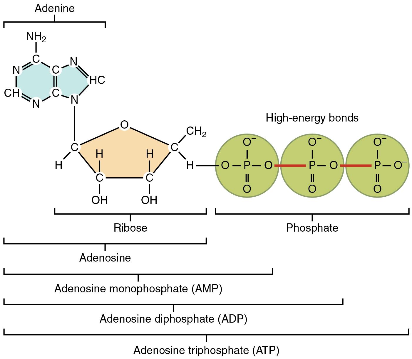 File 230 Structure Of Adenosine Triphosphate Atp 01