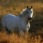 Glossary Of Equestrian Terms Wikipedia