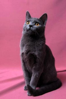 Photo of a Chartreux Cat