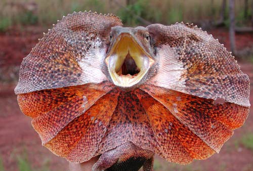 ไฟล์:Frilled-lizard500.jpg